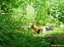 Squirrel near our cabin, Finland
