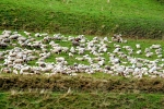 Sheep herd in Schönbrunn, Germany