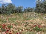 Poppies in the Peloponnese, Greece