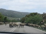 Sheep on the road, Greece
