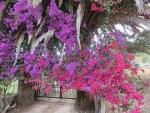 Flowering shrubs on Corfu, Greece