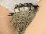 Swallow';s nest in Dodoni, Greece