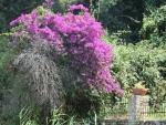 Flowering shrub on Corfu, Greece