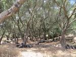 Olive grove at Krini, Greece