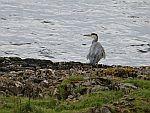 Heron along Loch Scridain, Scotland