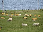 Yellow-dyed sheep, Iona, Scotland