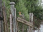A Hoopoe on Sithonia