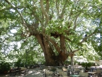 The oldest plane or sycamore tree of Greece, Tsangarada, Greece