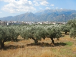 Olive grove at Sparta, Greece