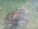 Loggerhead sea turtle in Argostoli, Kefalonia, Greece