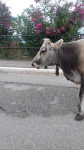 Here are also cows on the road
