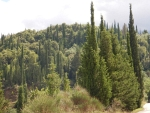 Pine trees at Agios Nikolaos, Kefalonia, Greece