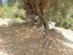 Old tree on Kefalonia, Greece