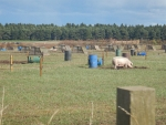 Organic pig farm at Elgin, Scotland