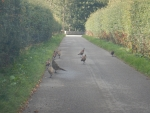 Pheasants on the road at Pluscarden