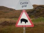 Beware of pigs, Scotland