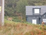 Deer at a house near Badcall, Scotland