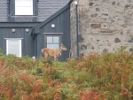 Deer at a house near Badcall, Scotland