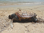A dead loggerhead turtle on Evia